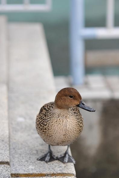 試8514  附近公園的小鴨子