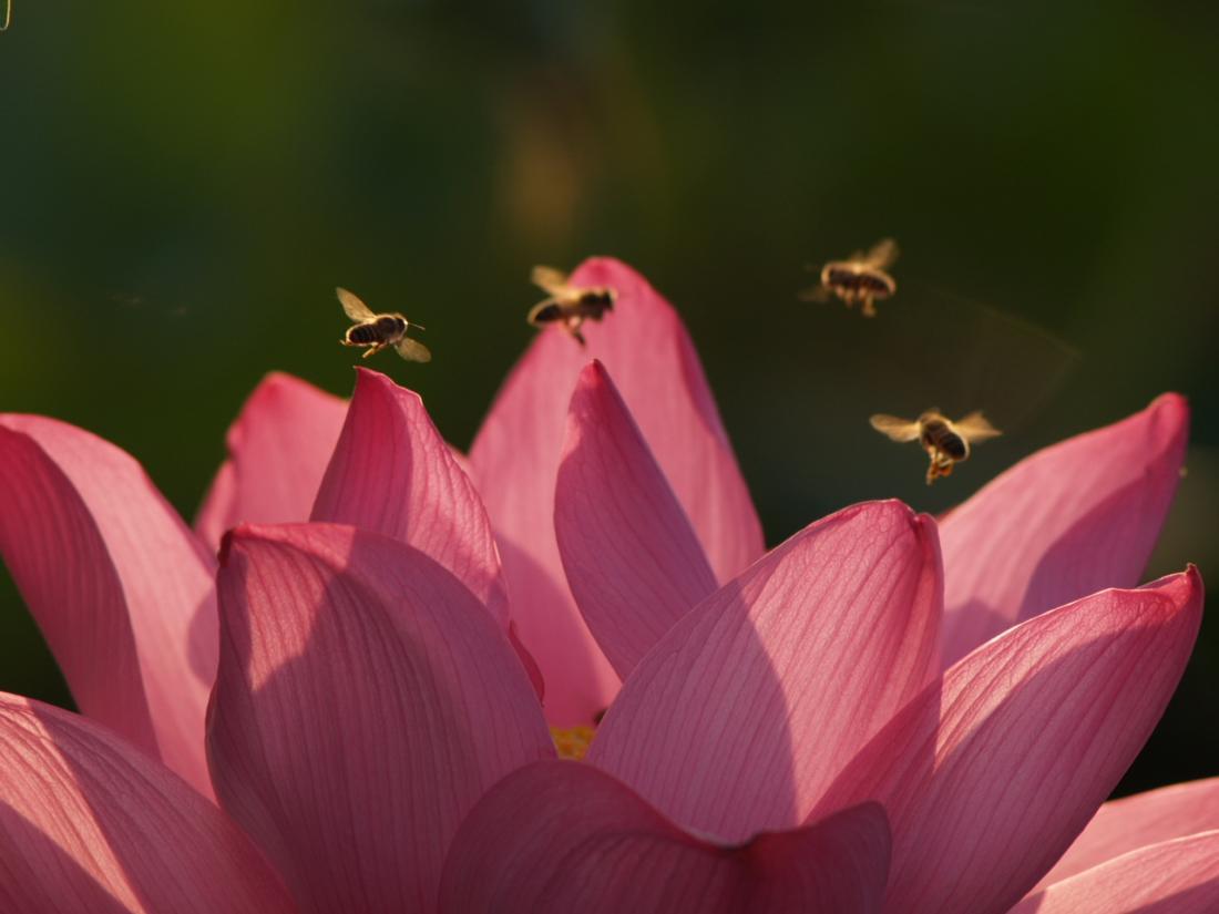 蜜蜂與荷花-1
