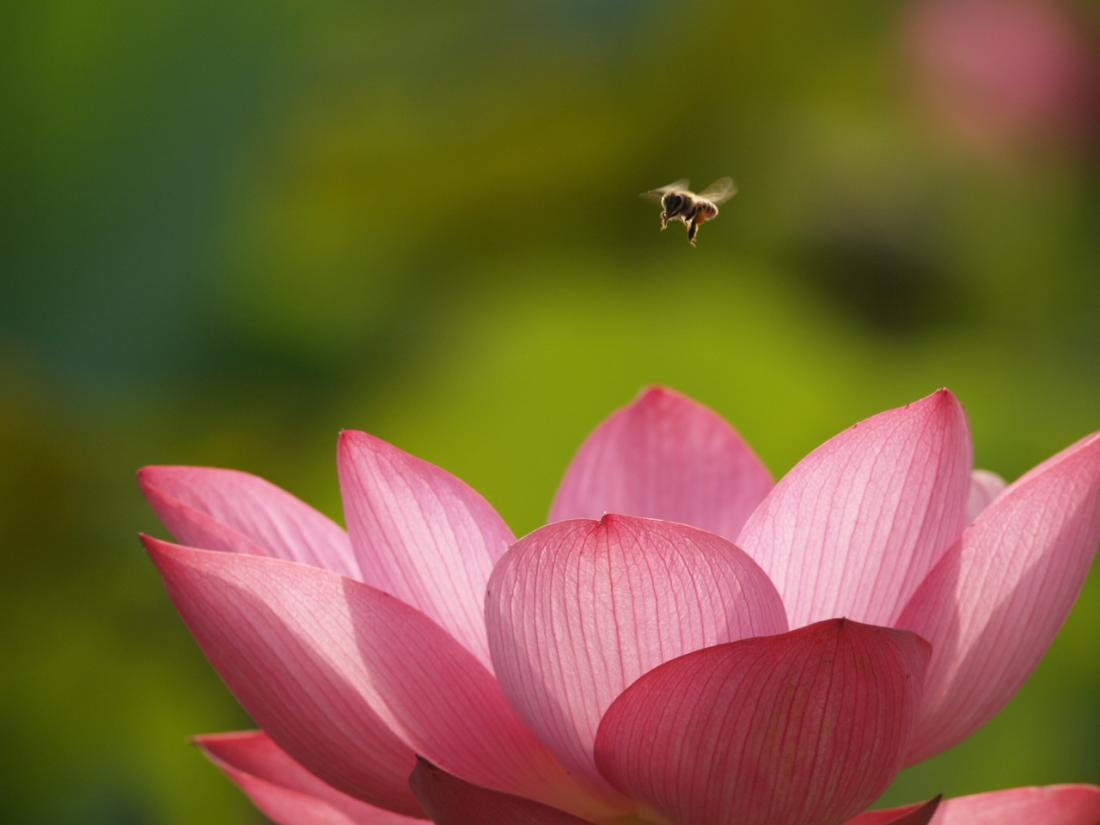 蜜蜂與荷花-2