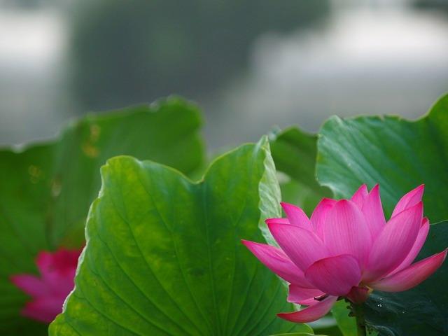 白河蓮花1